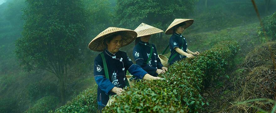 Tee-Analyse im Anbau